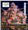 Dutch Passion Brainstorm Fem 10 Ganja Seeds